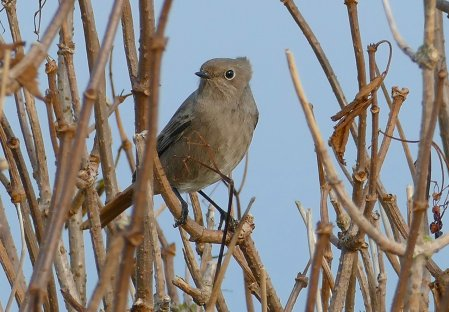 Black Redstart Berry Hd 30 Oct 2016 ML