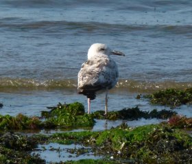 Herring Gull 1st Sum Broadsands 1 July 2014 ML