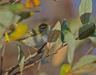 Yellow-browed Warbler © Steve Ray, 8/12/2015, Broadsands