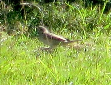 Distant record shot of Wryneck Soar Mill Cove