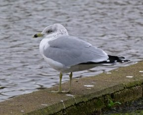 Ring-billed Gull ad Goodrington 22 Dec 2014 ML