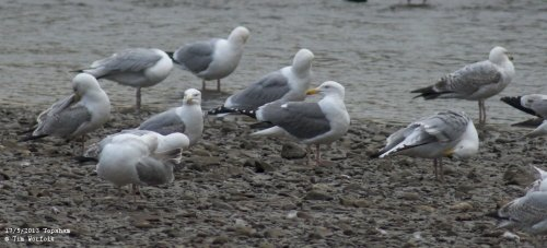 Apparent hybrid gull - Topsham 17/5/2013