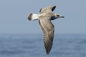 Yellow-legged Gull (juv)