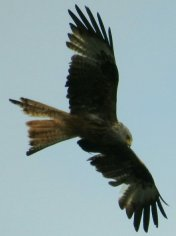 Red Kite overhead Bottreaux Mill near West Anstey
