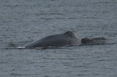Humpback close in off memorial car park 18:10