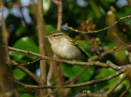 Yellow-browed WarblerBroadsands 10 Dec 2015 ML