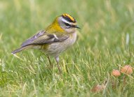 Firecrest in Garden Millin Way