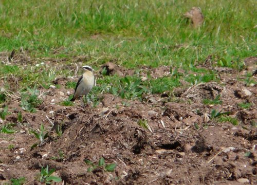 late wheatear