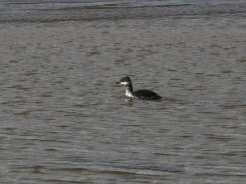 The 'resident' Slavonian Grebe, today off Powderham
