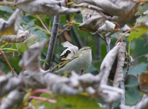 Yellow-browed Warbler Berry Hd 11 Oct 2016 ML