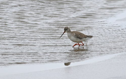 Spotted Redshank, Otter Estuary by Chris Townend
