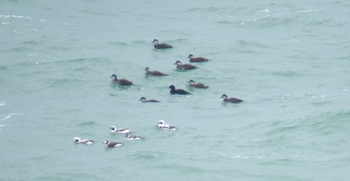 Common Scoter & Long-tailed Ducks