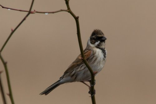 Reed Bunting -West Charleton Marsh - 12.3.15