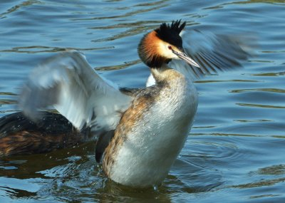 Gt Crested Grebe © Tom Wallis