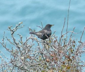 Ring Ouzel Berry Hd 27 Oct 2017 ML