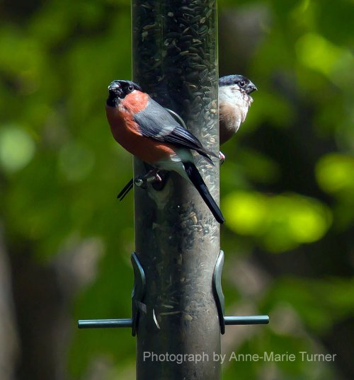 Male & Female Bullfinch at Stover