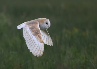Barn Owl by Chris Townend