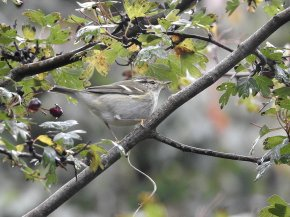Yellow-browed Warbler Berry Head 21 10 20 ML