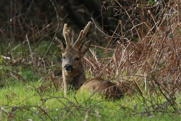 Roebuck, velvet just starting to fray.