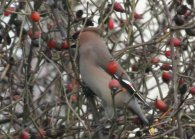 Waxwing feeding on rosehips