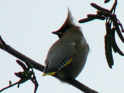 Adult male Waxwing, Heathfield