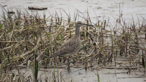 Whimbrel, nice and close.