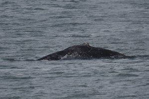 Humpback Whale - leftside markings