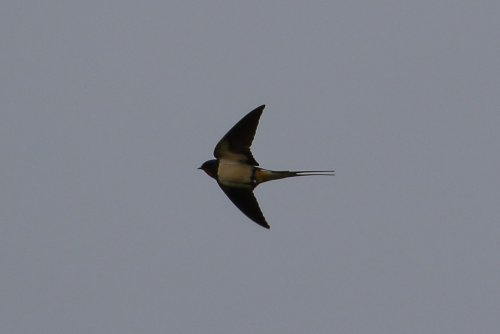 Swallow over Crediton
