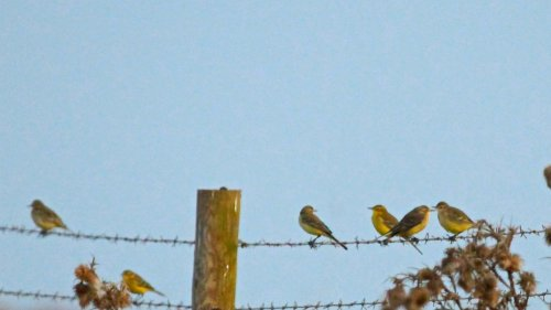 6 of the 30+ Yellow Wagtails on Orcombe point