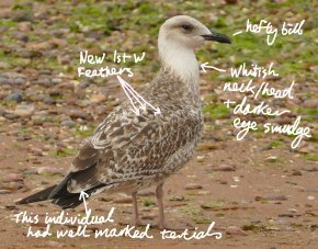 Yellow-legged Gull juv Broadsands 8 Aug 2018 ML