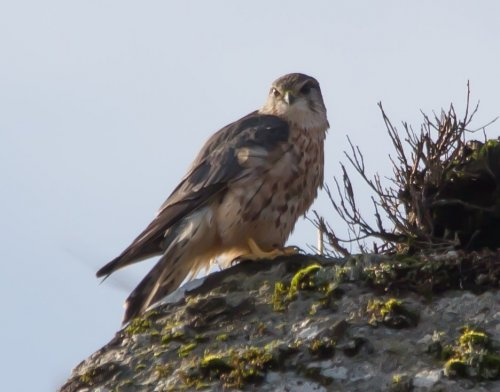 Male Merlin - Corndon Tor -24.1.15