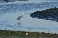 Great white egret. 30th October