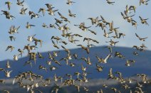 Golden plover, part of a gathering early in the season. 4th Novembeer