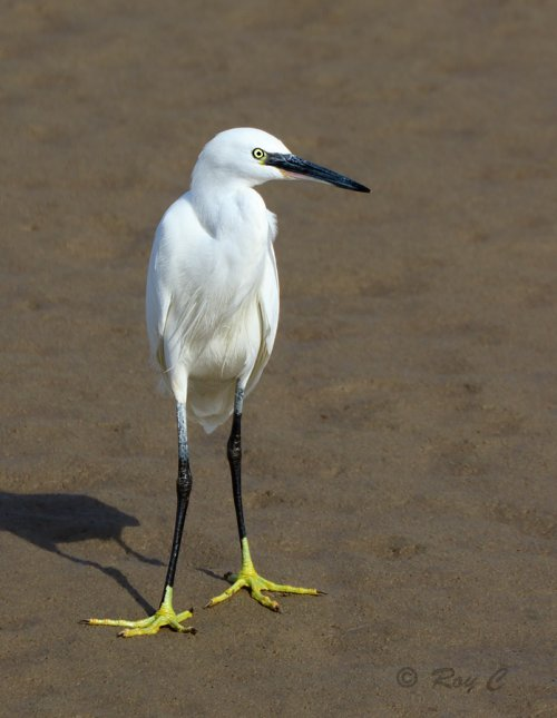 Little Egret standing tall