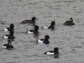 Greater Scaup and Tufted Ducks