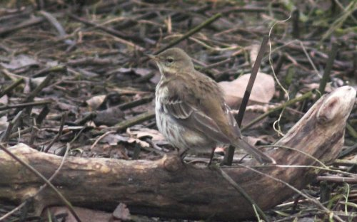 Water Pipit - Topsham 24/11/2013