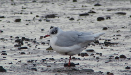 Mediterranean Gull  (Polish red darvic ring PPR2 or PRR2)