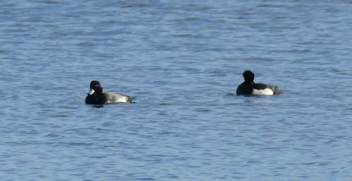 Scaup drake Slapton Ley 13 Nov 2016 ML