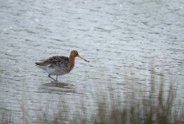 Black tail Godwit