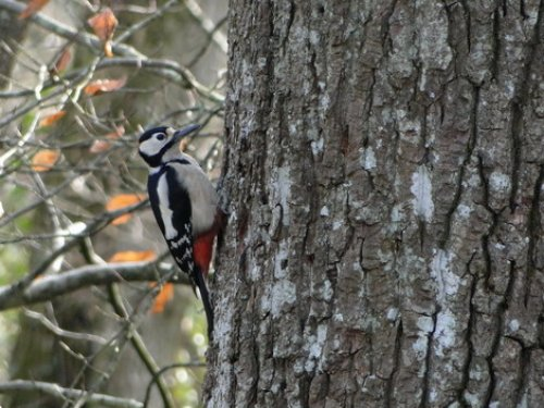Great Spotted Woodpecker, Stover
