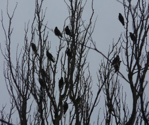 waxwings - exmouth community college