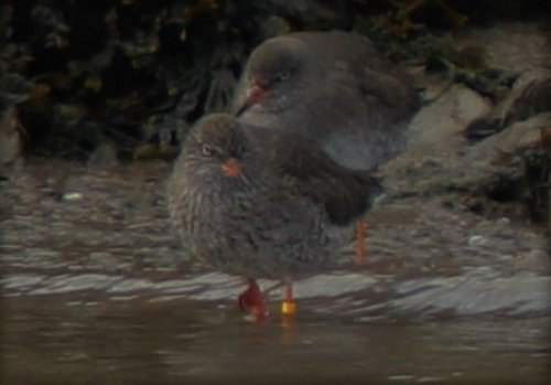 The small group of Red shanks with the tagged bird.