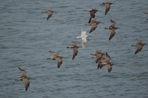 Pale Whimber in flight at Prawle