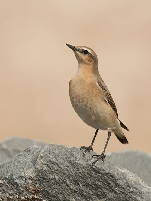 Wheatears showing well