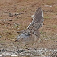 LB Dowitcher
