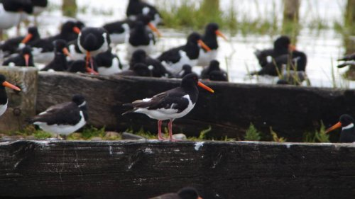 Oystercatcher   29-8-2015 Dawlish Warren