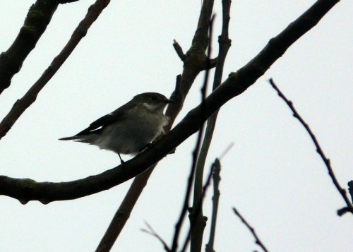 a relatively early pied fly