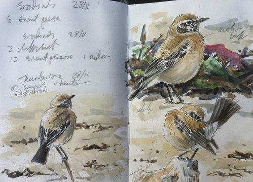 Desert Wheatear Thurlestone 29 Nov 2016 ML