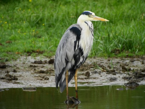 Grey Heron stood on a stone in left water channel