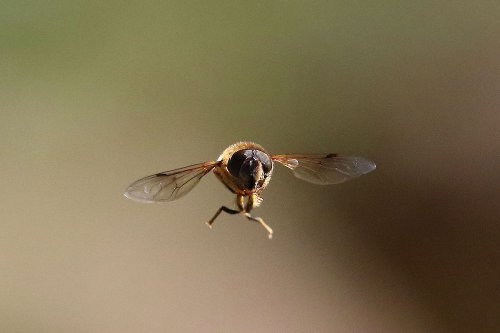 A Hoverfly Eristalis pertinax